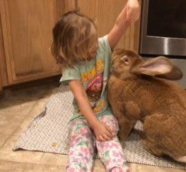Сеть покорило видео с гигантским домашним кроликом
