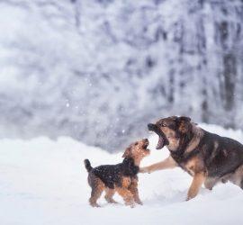 Снеговые собаки