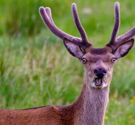 Как обманчива природа: олень перепутал самку с манекеном