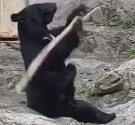 Кунг-фу Панда отдыхает: китайский медведь удивил навыками в боевых искусствах