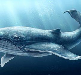 Ученые сделали кардиограмму сердца синего кита (видео)