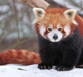 Зимнее веселье: красные панды радуются снегу