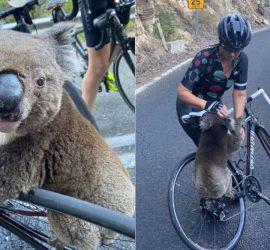Лесные пожары в Австралии: коалу спасли от жажды