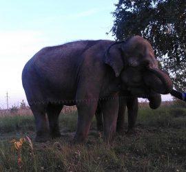В Екатеринбурге цирковые слоны отбились от хозяев и пошли бродить по улицам