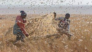 Огромные рои саранчи атаковали Кению