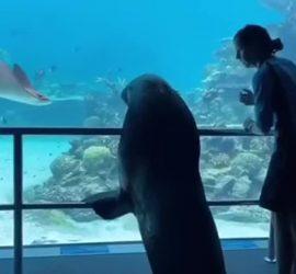 Морской лев прогулялся по пустому океанариуму
