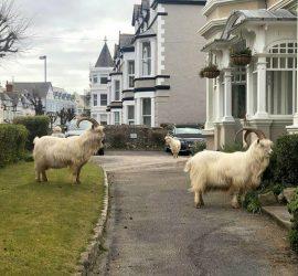 Горные козлы захватили улицы городка в Уэльсе