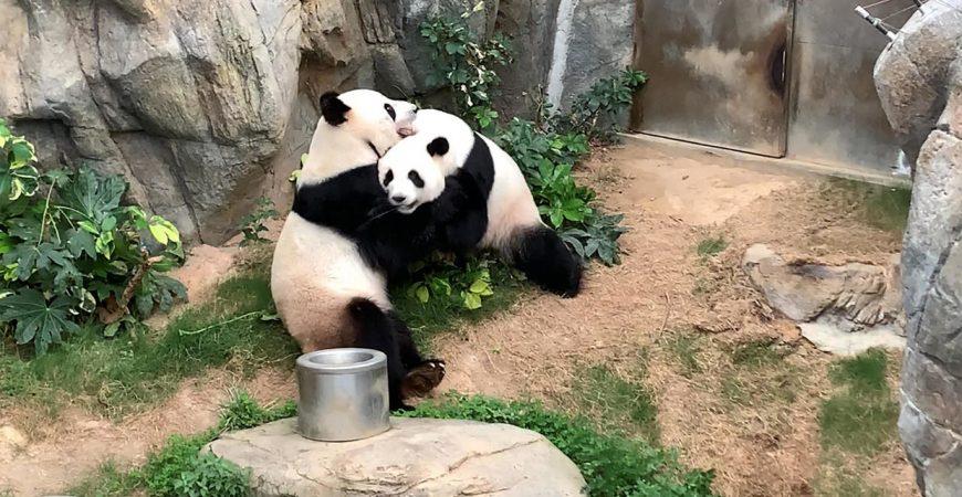 В Гонконге благодаря коронавирусу успешно спарились панды