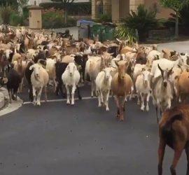 В США 200 козлов захватили улицы Сан-Хосе