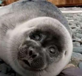 Собака вынянчила детеныша тюленя, приняв его за щенка