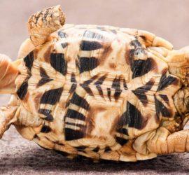 В Индии местные жители обнаружили редчайшую желтую черепаху