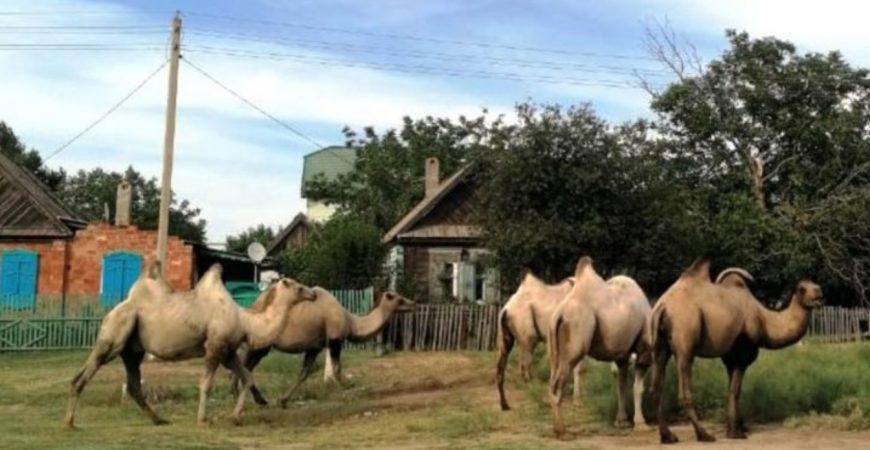 Дикие верблюды навели страх на три села под Астраханью