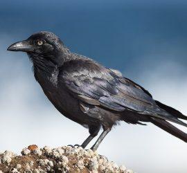 Ворона стащила у парня краденные деньги