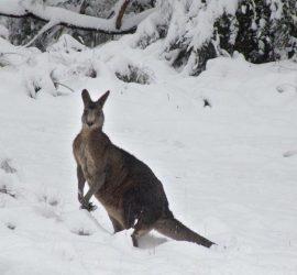 Юго-восток Австралии накрыло снегопадом