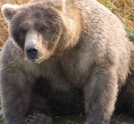 Медведи на Аляске так растолстели, что им стало трудно ходить