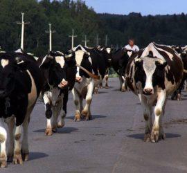 Стадо коров устроило террор жителям многоэтажки под Челябинском