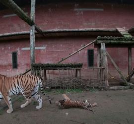 В Московском зоопарке показали недавно родившихся амурских тигрят