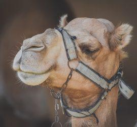 В Саудовской Аравии открыли больницу для верблюдов
